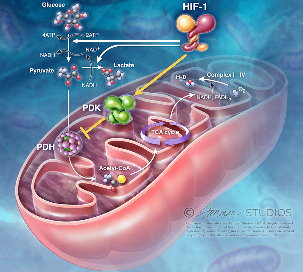 HIF-1 Inhibition in Mitochondria