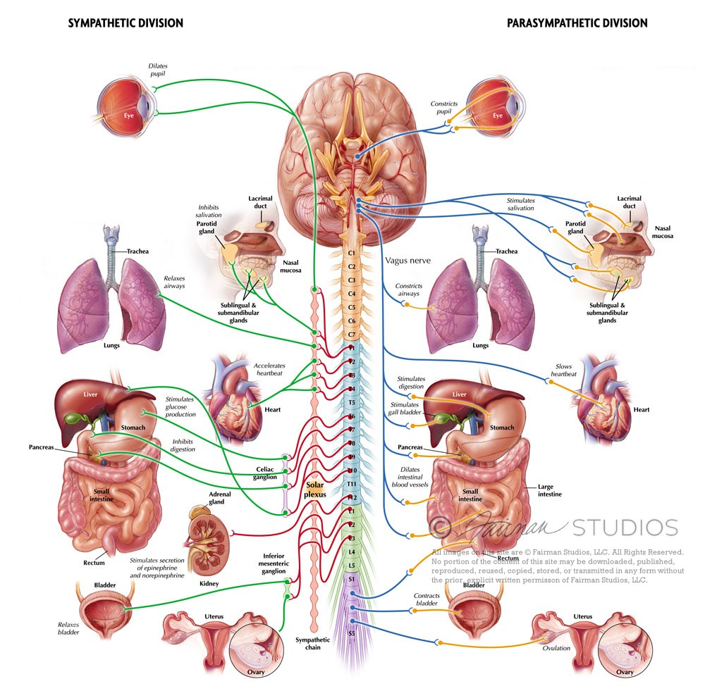 Autonomic Nervous System | Fairman Studios
