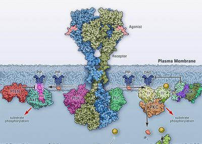 Diacylglycerol and PIP3 Signaling